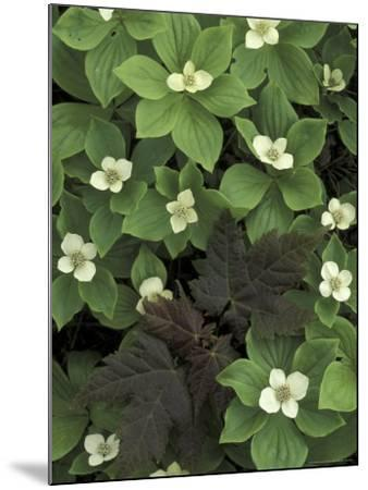 Maple Seedling in Bunchberry, Michigan, USA-Claudia Adams-Mounted Photographic Print