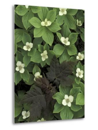 Maple Seedling in Bunchberry, Michigan, USA-Claudia Adams-Metal Print