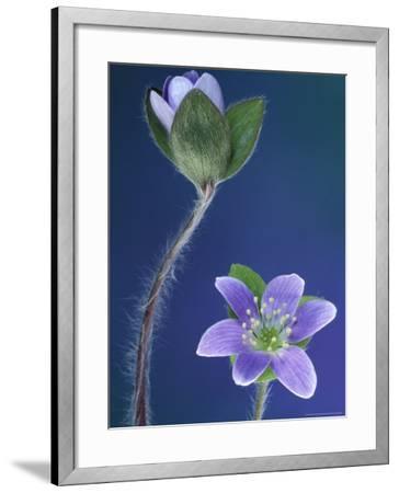 Round-Lobed Hepatica Bud and Fleur, Lapeer, Michigan, USA-Claudia Adams-Framed Photographic Print