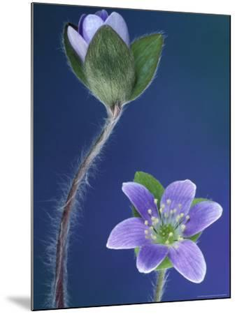 Round-Lobed Hepatica Bud and Fleur, Lapeer, Michigan, USA-Claudia Adams-Mounted Photographic Print
