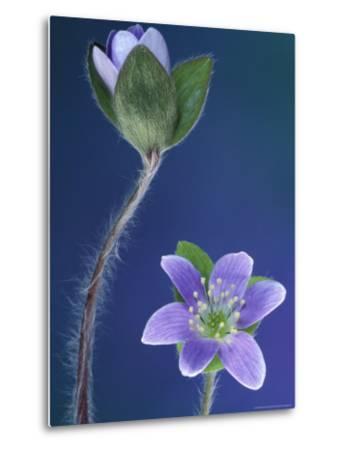 Round-Lobed Hepatica Bud and Fleur, Lapeer, Michigan, USA-Claudia Adams-Metal Print