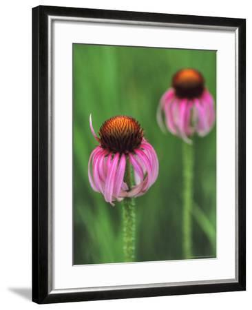 Pale Purple Coneflower-Chuck Haney-Framed Photographic Print