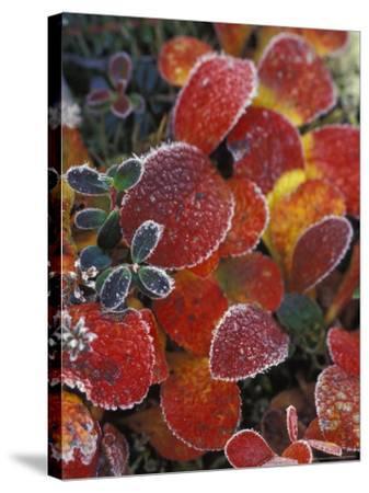 Fall-Colored Bearberry and Dwarf Cranberries, Wonder Lake, Denali National Park, Alaska, USA-Stuart Westmoreland-Stretched Canvas Print