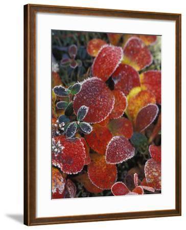 Fall-Colored Bearberry and Dwarf Cranberries, Wonder Lake, Denali National Park, Alaska, USA-Stuart Westmoreland-Framed Photographic Print