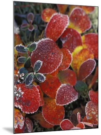 Fall-Colored Bearberry and Dwarf Cranberries, Wonder Lake, Denali National Park, Alaska, USA-Stuart Westmoreland-Mounted Photographic Print