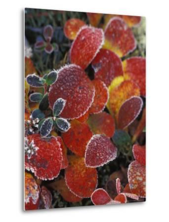 Fall-Colored Bearberry and Dwarf Cranberries, Wonder Lake, Denali National Park, Alaska, USA-Stuart Westmoreland-Metal Print