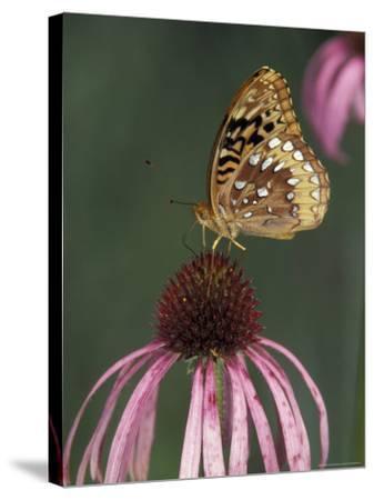 Great Spangled Fritillary on Pale Purple Coneflower-Adam Jones-Stretched Canvas Print