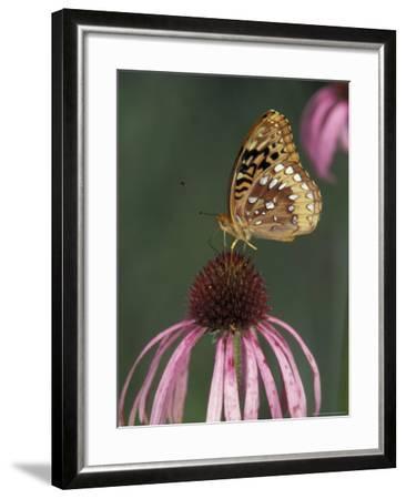 Great Spangled Fritillary on Pale Purple Coneflower-Adam Jones-Framed Photographic Print
