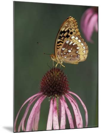Great Spangled Fritillary on Pale Purple Coneflower-Adam Jones-Mounted Photographic Print