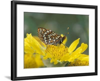 Anicia Checkerspot, Mt. Evans, Colorado, USA-Adam Jones-Framed Photographic Print