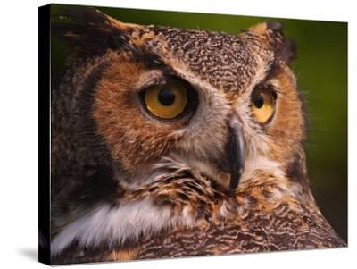 Great Horned Owl-Adam Jones-Stretched Canvas Print