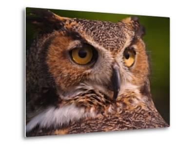 Great Horned Owl-Adam Jones-Metal Print