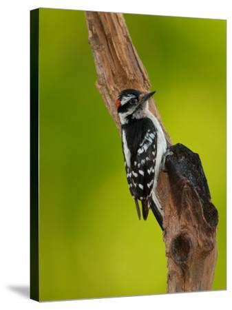 Downy Woodpecker-Adam Jones-Stretched Canvas Print