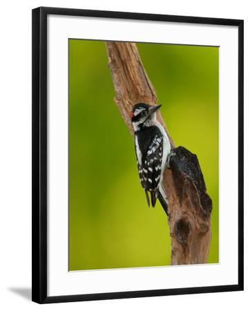 Downy Woodpecker-Adam Jones-Framed Photographic Print