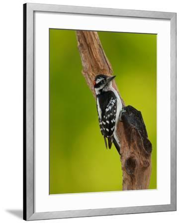 Downy Woodpecker-Adam Jones-Framed Photographic Print