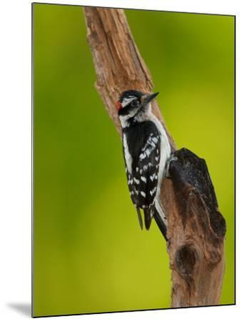 Downy Woodpecker-Adam Jones-Mounted Photographic Print
