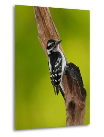 Downy Woodpecker-Adam Jones-Metal Print
