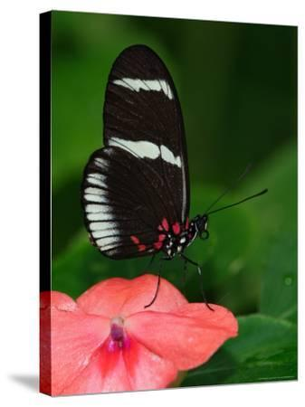 Small Postman Butterfly-Adam Jones-Stretched Canvas Print