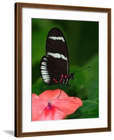 Small Postman Butterfly-Adam Jones-Framed Photographic Print