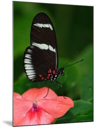 Small Postman Butterfly-Adam Jones-Mounted Photographic Print