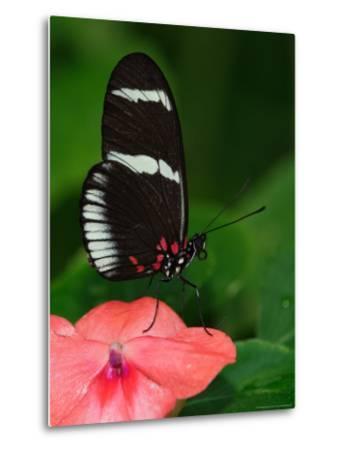 Small Postman Butterfly-Adam Jones-Metal Print