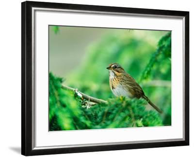 Lincoln's Sparrow-Adam Jones-Framed Photographic Print