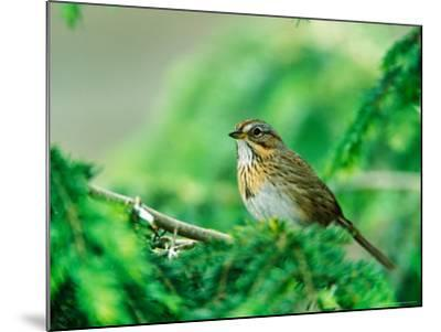 Lincoln's Sparrow-Adam Jones-Mounted Photographic Print