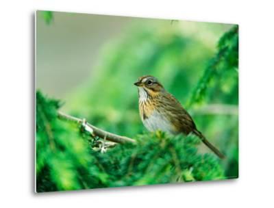 Lincoln's Sparrow-Adam Jones-Metal Print
