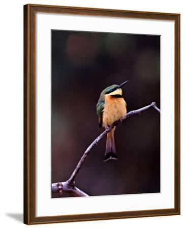 Little Bee-Eater, Kenya-Charles Sleicher-Framed Photographic Print