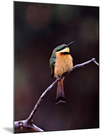 Little Bee-Eater, Kenya-Charles Sleicher-Mounted Photographic Print