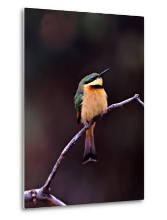 Little Bee-Eater, Kenya-Charles Sleicher-Metal Print
