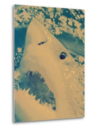 Great White Shark, South Africa-Michele Westmorland-Metal Print