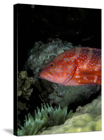 Coral Grouper-Michele Westmorland-Stretched Canvas Print