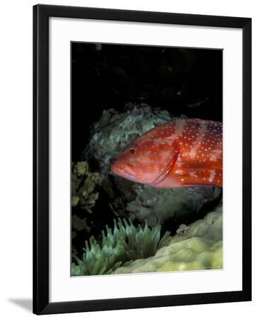 Coral Grouper-Michele Westmorland-Framed Photographic Print