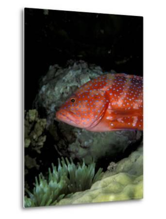 Coral Grouper-Michele Westmorland-Metal Print