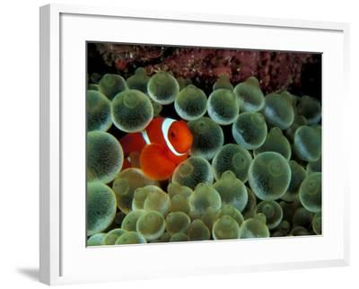 Spinecheek Anemonefish, Papua New Guinea-Michele Westmorland-Framed Photographic Print