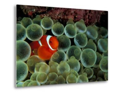 Spinecheek Anemonefish, Papua New Guinea-Michele Westmorland-Metal Print