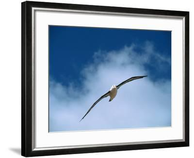 Black-Browed Albatross in Flight, Argentina-Charles Sleicher-Framed Photographic Print