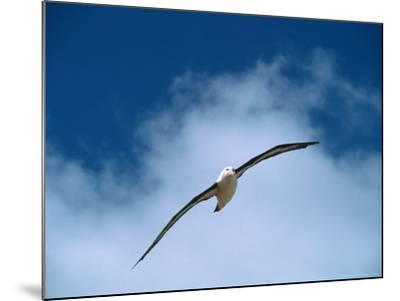 Black-Browed Albatross in Flight, Argentina-Charles Sleicher-Mounted Photographic Print