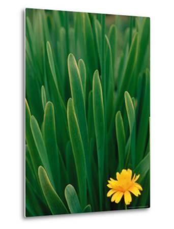 Flower Groundsel, Alaska, USA-Dee Ann Pederson-Metal Print