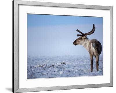 Barren Ground Caribou, Arctic National Wildlife Refuge, Alaska, USA-Steve Kazlowski-Framed Photographic Print