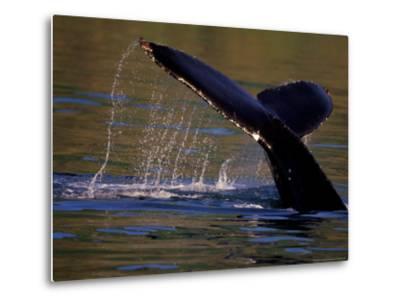 Surfacing Humpback Whale, Inside Passage, Southeast Alaska, USA-Stuart Westmoreland-Metal Print