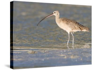 Long-Billed Curlew on North Beach at Fort De Soto Park, Florida, USA-Jerry & Marcy Monkman-Stretched Canvas Print
