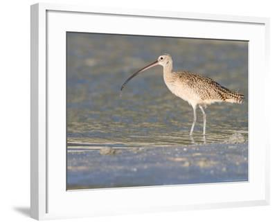 Long-Billed Curlew on North Beach at Fort De Soto Park, Florida, USA-Jerry & Marcy Monkman-Framed Photographic Print