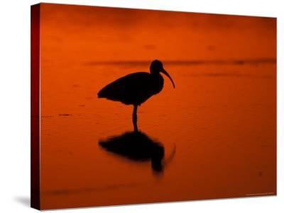 White Ibis at Sunset, Ding Darling National Wildlife Refuge, Florida, USA-Jerry & Marcy Monkman-Stretched Canvas Print