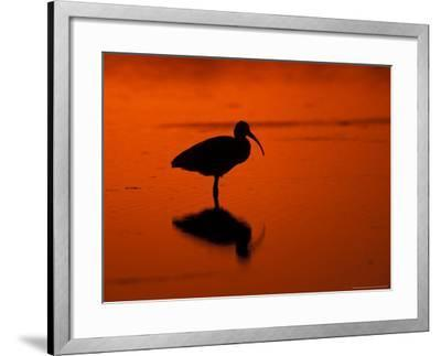White Ibis at Sunset, Ding Darling National Wildlife Refuge, Florida, USA-Jerry & Marcy Monkman-Framed Photographic Print