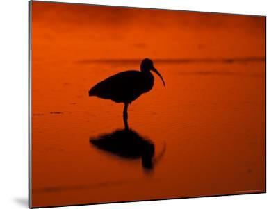 White Ibis at Sunset, Ding Darling National Wildlife Refuge, Florida, USA-Jerry & Marcy Monkman-Mounted Photographic Print