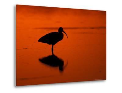 White Ibis at Sunset, Ding Darling National Wildlife Refuge, Florida, USA-Jerry & Marcy Monkman-Metal Print
