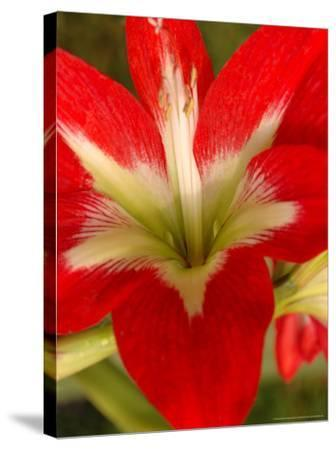 Red Amaryllis, Edgewater, Florida-Lisa S^ Engelbrecht-Stretched Canvas Print