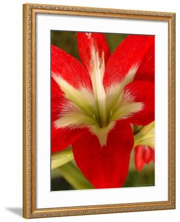 Red Amaryllis, Edgewater, Florida-Lisa S^ Engelbrecht-Framed Photographic Print